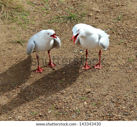 Two  white seagulls  preparing to fight for dominance with an aggressive display  on a cloudy day in early winter. - stock photo