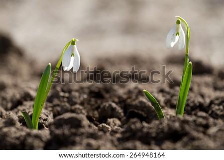 Two white snowdrop flowers in springtime - stock photo