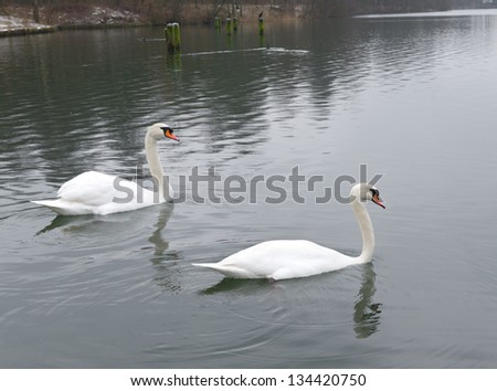 two white swans in a lake - stock photo