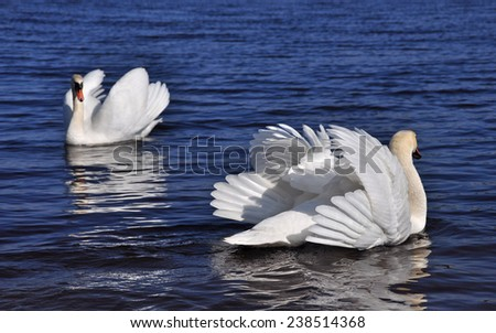 two white swans in love - stock photo