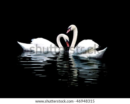 Two white swans, isolated on black - stock photo