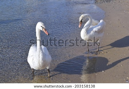 Two white swans on beach near the sea - stock photo