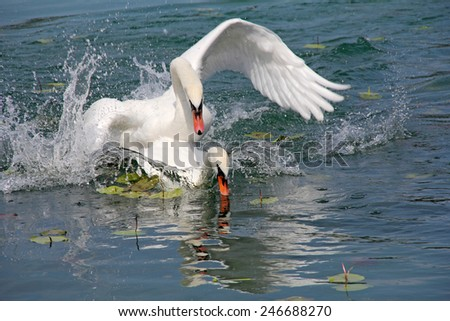 Two white swans played on surface of the lake  - stock photo