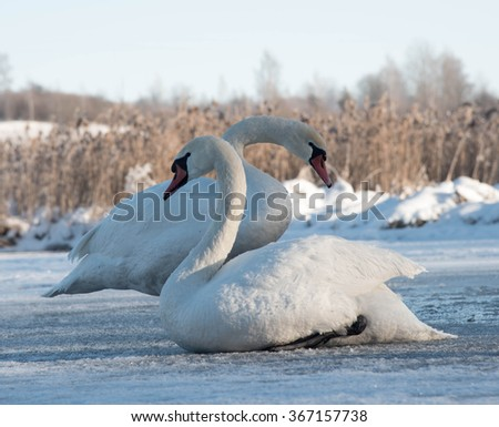 two white swans sitting on the ice in winter