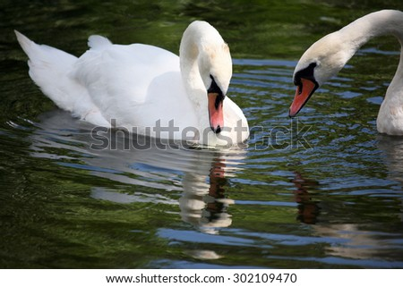 two white swans swimming in the pond