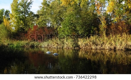 Two white swans under the colorful trees floating on the surface of a blue lake