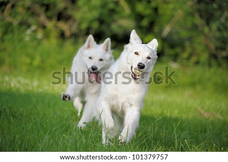 two White Swiss Shepherd plays in the meadow