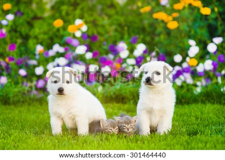 two White Swiss Shepherd`s puppies and tabby kittens on green grass - stock photo
