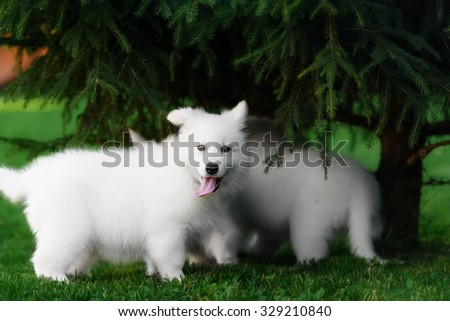 two White Swiss Shepherds puppies playing in garden - stock photo