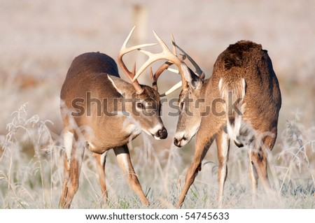 Two white-tailed bucks sparring in a frosty meadow