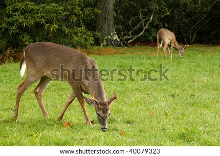 Two White Tailed Deer Bucks in Meadow - stock photo