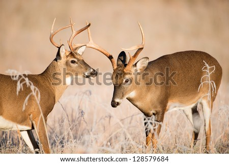 Two white-tailed deer bucks sparring in a frost covered open meadow