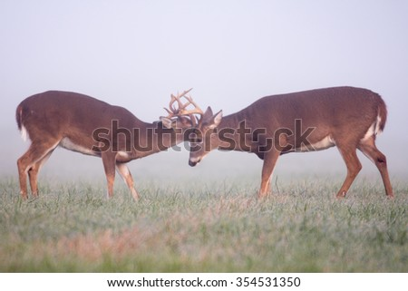 two white-tailed deer bucks sparring in an open meadow on a foggy morning in Smoky Mountain national Park - stock photo
