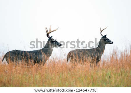 Two white-tailed deer bucks standing in a meadow in Smoky Mountain National Park - stock photo
