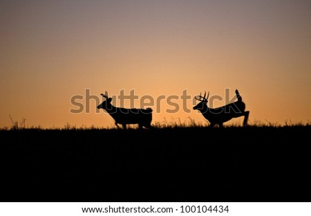 two White-tailed deerbucks  running though a field after sunset - stock photo