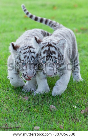 Two white tigers in the wild. - stock photo
