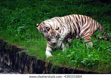 Two White Tigers Plying in a  Indian Tiger Reserves  - stock photo