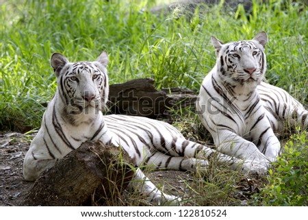 Two white tigers resting in a forest - stock photo