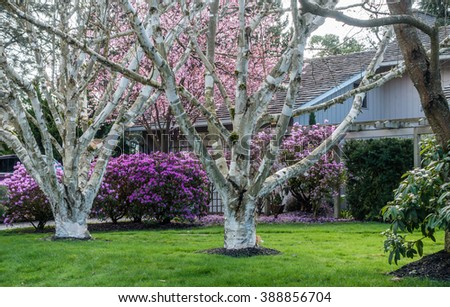 Two white trees grow in front of purple, and pink Spring flowers in the Pacific Northwest.
