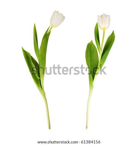 Two white tulips, on white background. - stock photo