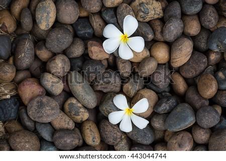 Two White yellow flower plumeria or frangipani on dark pebble rock for spa background - stock photo