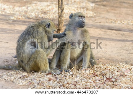 Two wild  baboon in Botswana, South Africa