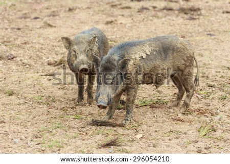 Two wild boar pig in the farm