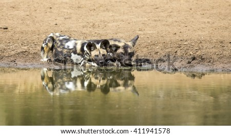 Two wild dogs rest next to a waterhole to drink some water - stock photo