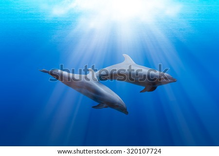 two wild dolphins playing in sunrays underwater in blue