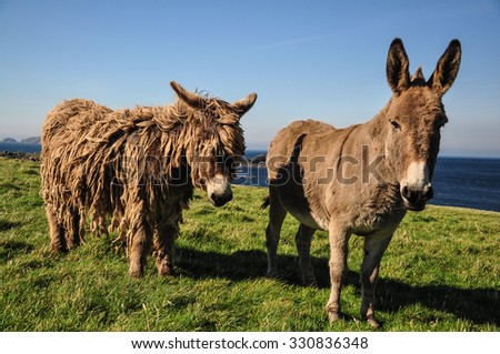 two wild donkeys