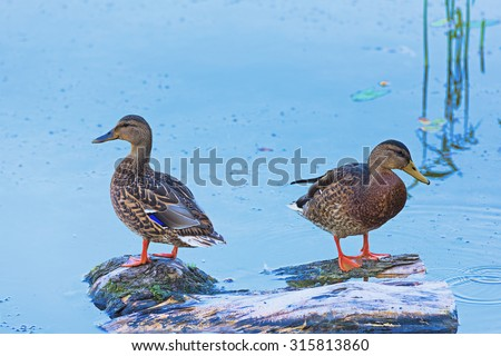 Two wild ducks do not sit pond summer day