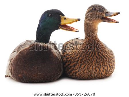 Two wild ducks isolated on a white background. - stock photo