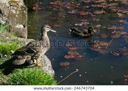 Two wild ducks on a pond - stock photo
