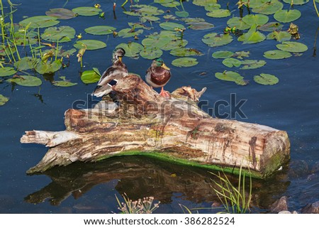 Two wild ducks sitting on timber in the pond - stock photo