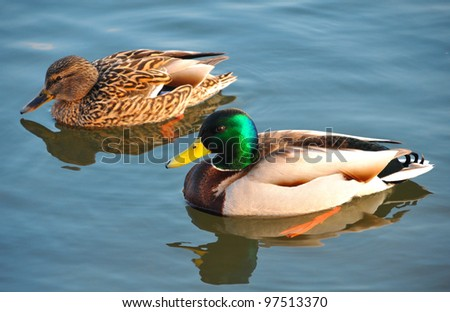 Two wild ducks swim in the river - stock photo