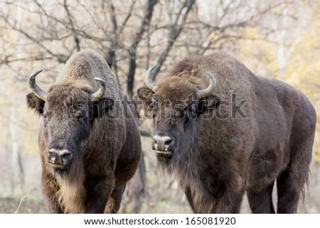 Two wild European bison or Wisent (Bison bonasus) in autumn deciduous forest. - stock photo