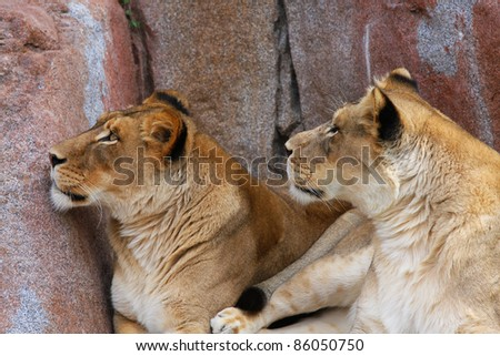 Two wild Lionesses looking up over the rocks - stock photo