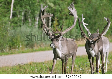 Two wild reindeer approaching on a roadside in Lapland, Scandinavia - stock photo