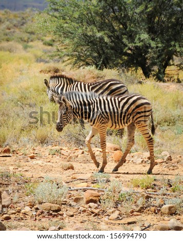 Two wild small zebras foals in Afrian bush - stock photo