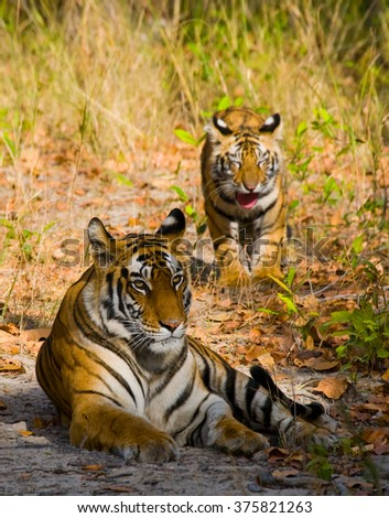 Two wild tiger in the jungle. India. Bandhavgarh National Park. Madhya Pradesh. An excellent illustration.