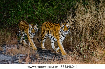 Two wild tiger in the morning twilight in the jungle. India. Bandhavgarh National Park. Madhya Pradesh. An excellent illustration. - stock photo