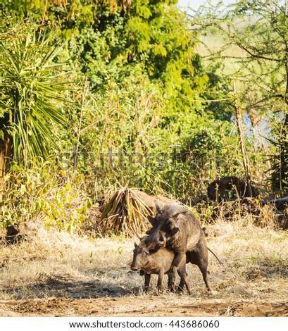 Two wild Warthogs mating in Botswana, Africa - stock photo