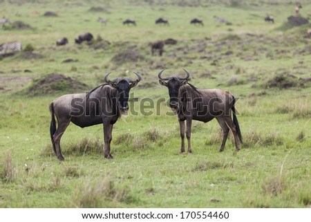 Two wildebeests in the Maasai Mara National Reserve, Kenya, Central east Africa - stock photo