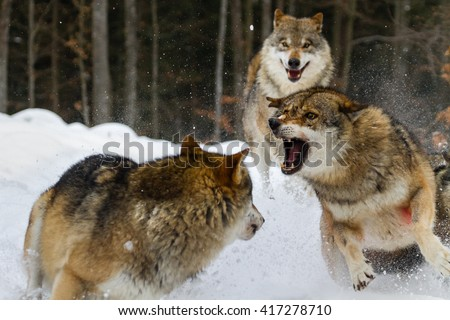 Two wolves fighting on snow with third one watching from behind - stock photo