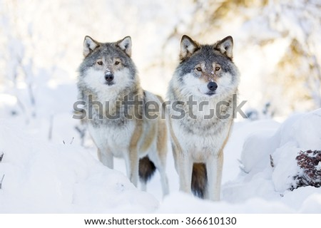 Two wolves in cold winter forest - stock photo