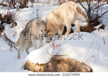 Two wolves of timber and arctic mixture show affection to each other as they play on a snow covered rock. - stock photo