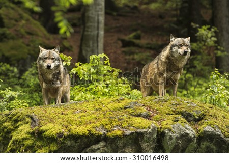 Two wolves on a rocky plateau lie in wait for prey, Canis lupus, wolf, wild wolf. CZECH REPUBLIC. - stock photo