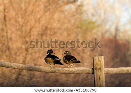 Two Wood Duck Birds, one male and female, perched on a log fence looking at each other with brown bushes background - stock photo