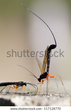 Two wood wasp - stock photo