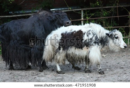 two yaks in a zoo